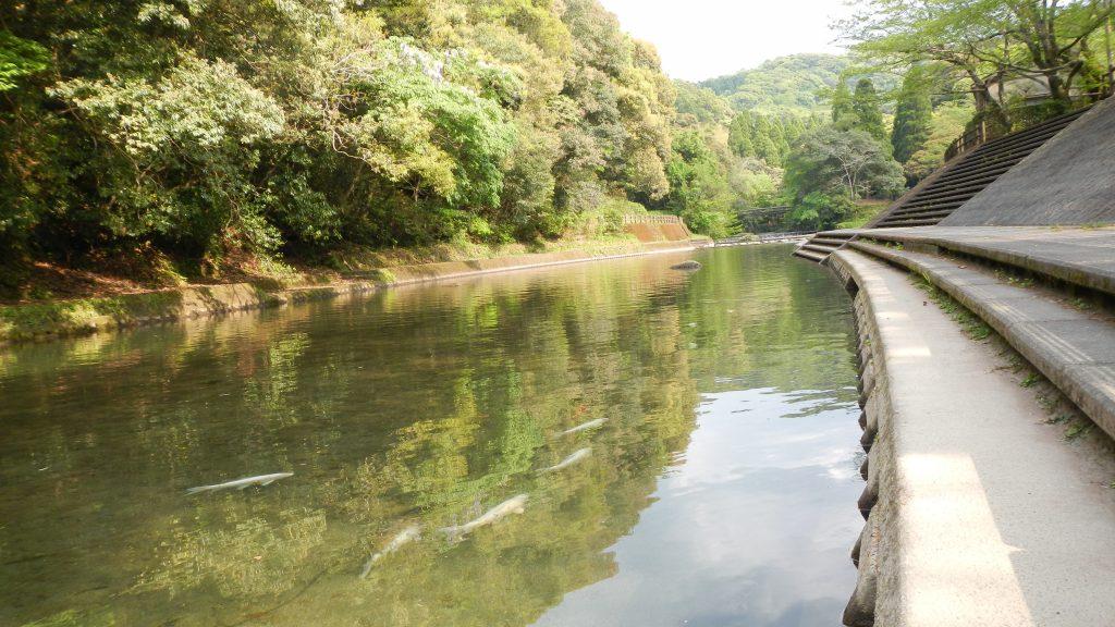 姶良川を泳ぐ鯉